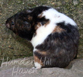Tortoiseshell - The Different Species - Hamster Hideout Forum