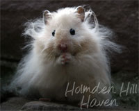 "Holmden Hill Haven's ""Powderpuff""- Extreme Dilute Cream Longhaired Syrian Hamster"