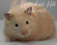 "Holmden Hill Haven's ""Pudding""- Black Eyed Cream Longhaired Syrian Hamster"