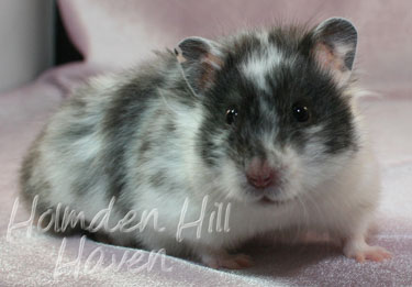 Long Haired Hamster Colors 36